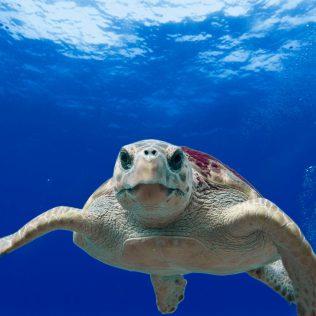 Eine Meeresschildkröte aus dem Ionischen Meer