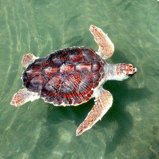 Eine Meeresschildkröte von oben aus dem Ionischen Meer bei Zakynthos